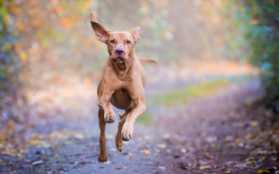 Herbal Medicine in Canine Sports Medicine and Rehabilitation