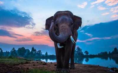 Elephant Osteopathy – Tony Nevin at Zoo Ost Ltd