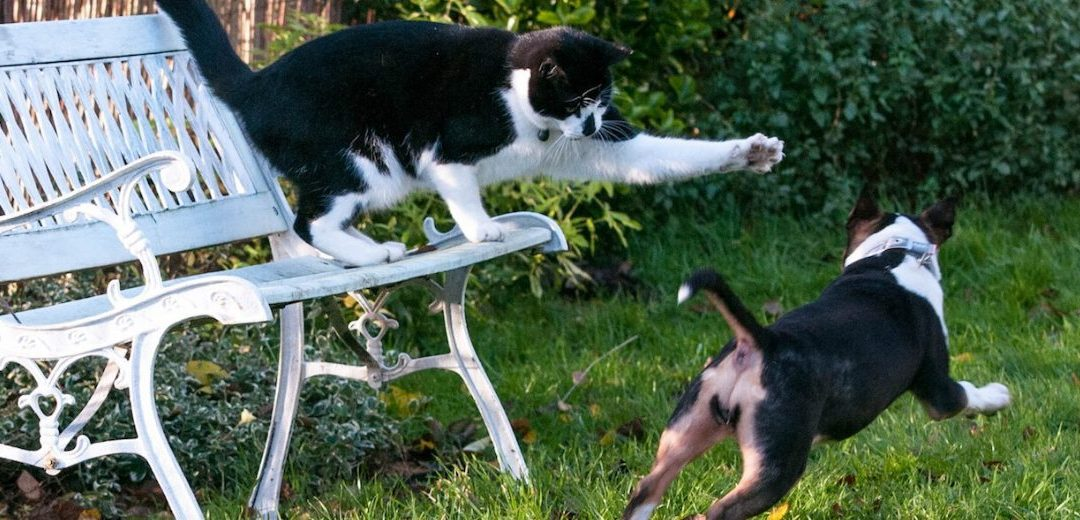 Gremlin the cat and Prudence the Miniature Bull Terrier playing on a garden seat